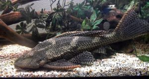 Jethro the gibbiceps, five years later he's now 20 inches long