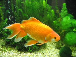 Pixie: showing what a comet type goldfish should look like