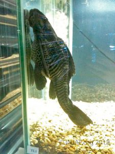 Common plec (Pterygoplicthys pardalis) showing the effects of stunting