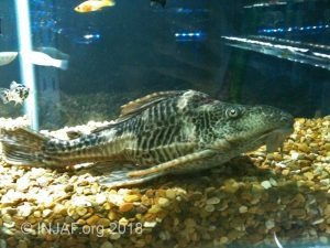 Common plec (Pterygoplichthys pardalis) showing the effects of incorrect care