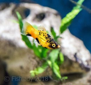 A Bumblebee platy, these fish come in many colours