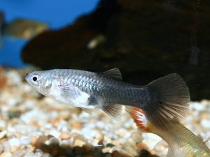 Female fancy guppy © fishtanksandponds.co.uk