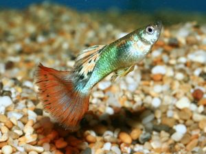 Male fancy guppy, © fishtanksandponds.co.uk