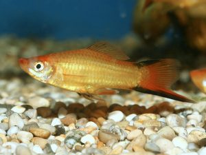 Swordtail © fishtanksandponds.co.uk