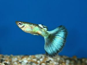 Male fancy guppy © fishtanksandponds.co.uk